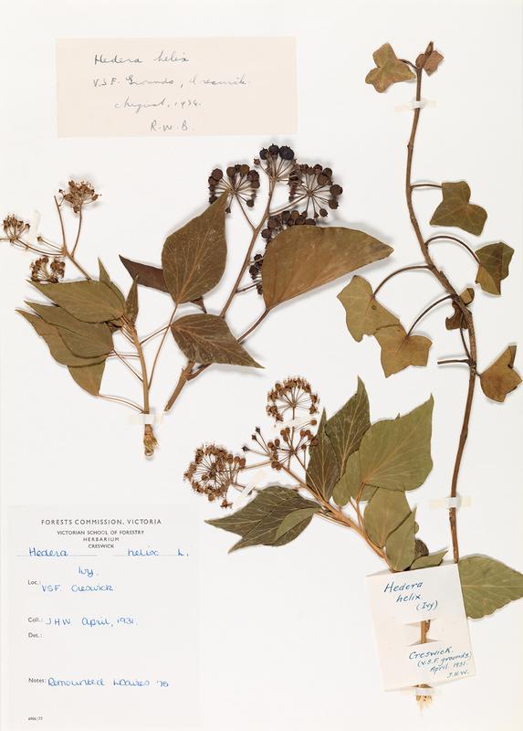 herb29.jpg