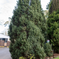 9. Juniperus communis (common juniper).