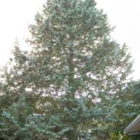 10. Cupressus arizonica (Arizona cypress).