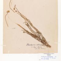 Lobe-seed daisy