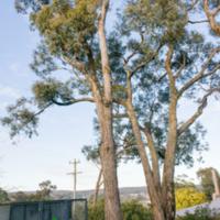 16. Eucalyptus aromaphloia (Creswick apple-box).