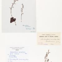 Gnat orchid
