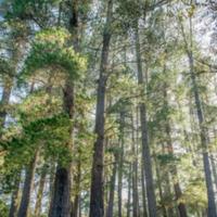 7. Pinus radiata (Monterey pine).