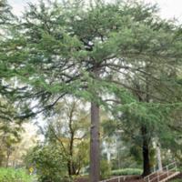 5. Cedrus libani (Lebanon cedar).