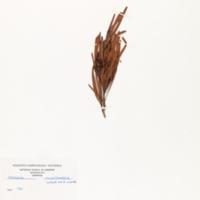 Narrow leaf wattle