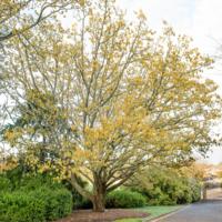 2. Quercus acutissima (sawtooth oak).