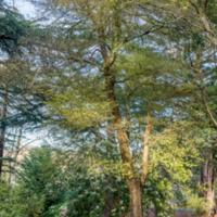 6. Ulmus minor 'subsp.sarniensis (Jersey elm).